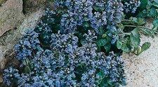 Coral Carpet Sedum