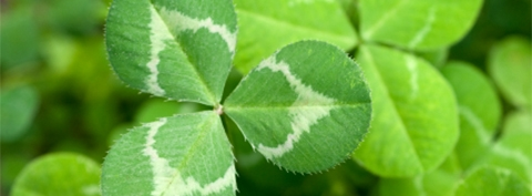 finding a 4 leaf clover odds What is the ratio of four leaf clovers to three leaf chacha answer: the odds of finding a 4-leaf clover is estimated at 10,000 to 1.