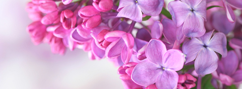 Bloomiq lilac flowers emerge in chalky shades of pink purple and white from tight dark buds mightylinksfo