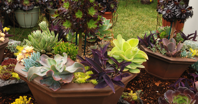 dish gardens - Dish Garden Plants