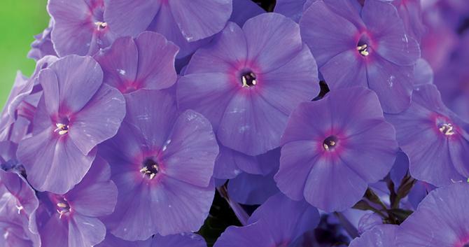 Bloomiq fragrant perennials mightylinksfo Choice Image