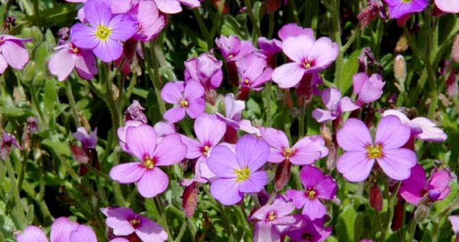 Bloomiq fragrant perennials mightylinksfo