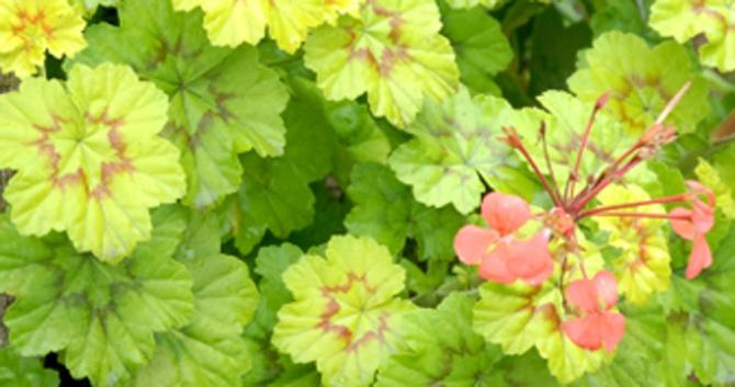 Bloomiq - Geranium feuilles qui jaunissent ...