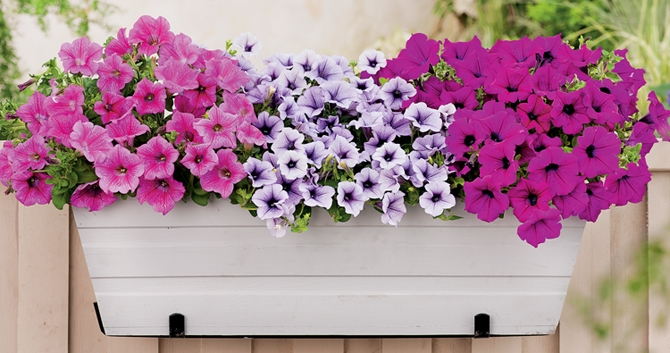 Bloomiq - Growing petunias pots balconies porches ...